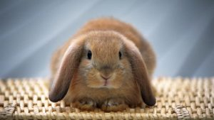 Home remedies to reduce bunny poop odour from your house image