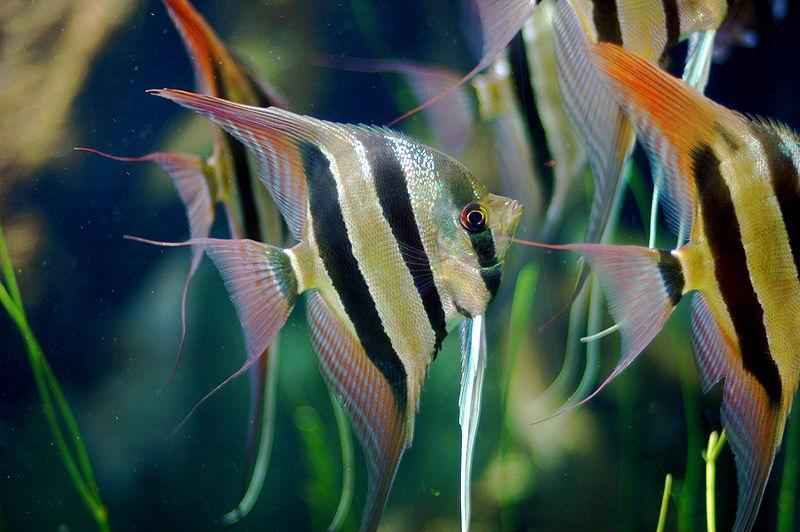 800px-angel fish