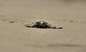 Velas Turtle Festival image