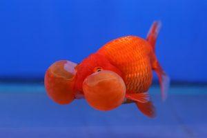 Goldfish 3 Second Memory Mythbusted