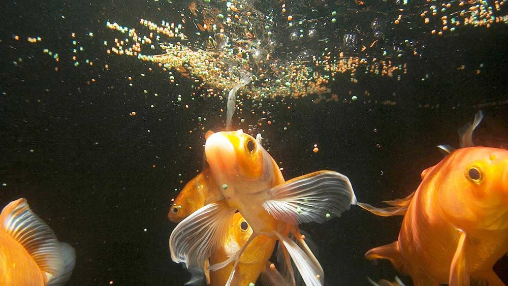How-much-food-should-you-feed-your-fish image