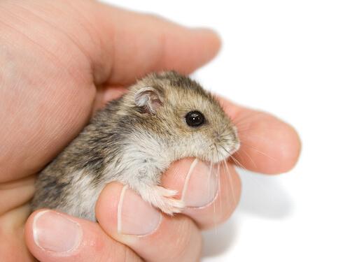 Little-Dwarf-Hamster