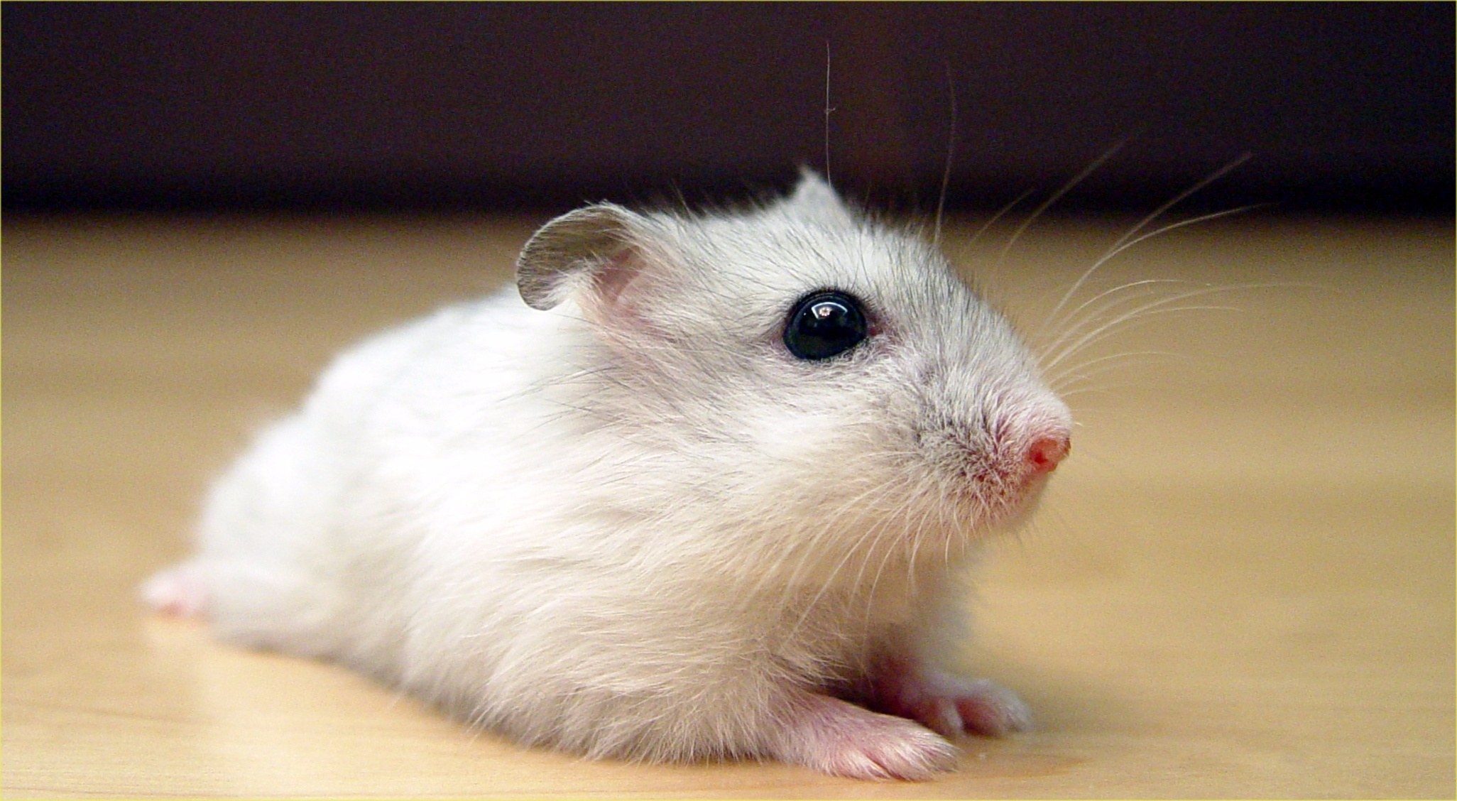 Vital Facts You Need To Know About Dwarf Hamsters image