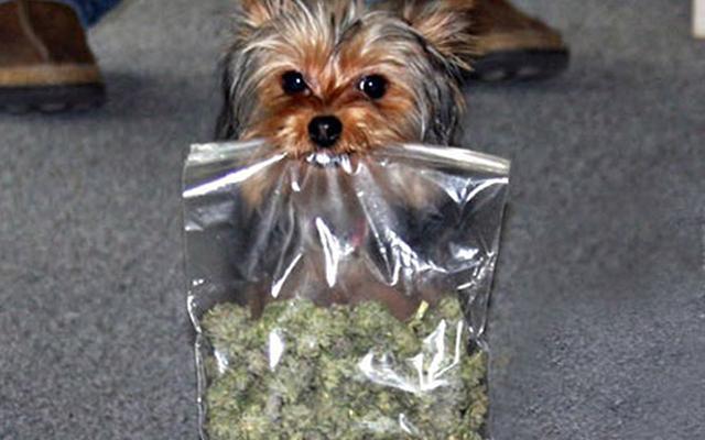 Can Medical Marijuana Cure Your Pet Dogs?