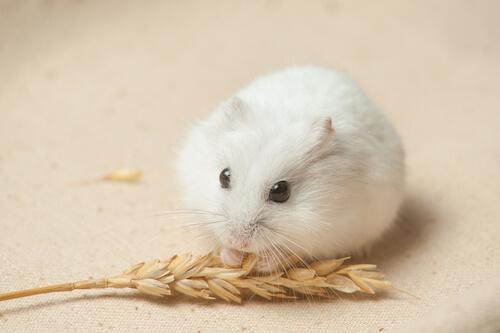 Winter-White-Dwarf-Hamster