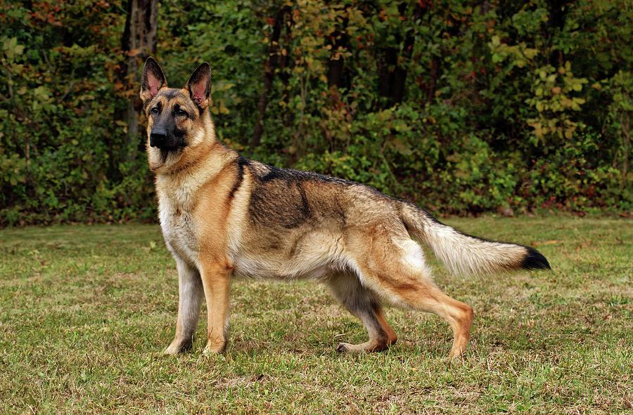 beautiful-sable-german-shepherd-sandy-keeton