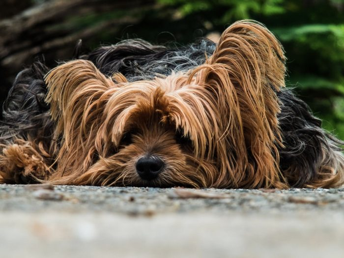 Dog Breeds in India That Shed a Lot image