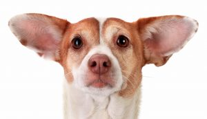 4 Things You Don't Know About Your Dog's Ears (But Should) image