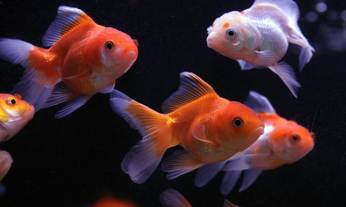 here's-what-your-goldfish-needs-header