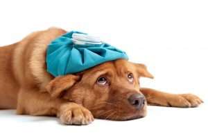 Pain Medication for Dogs, How to Administer Safely image