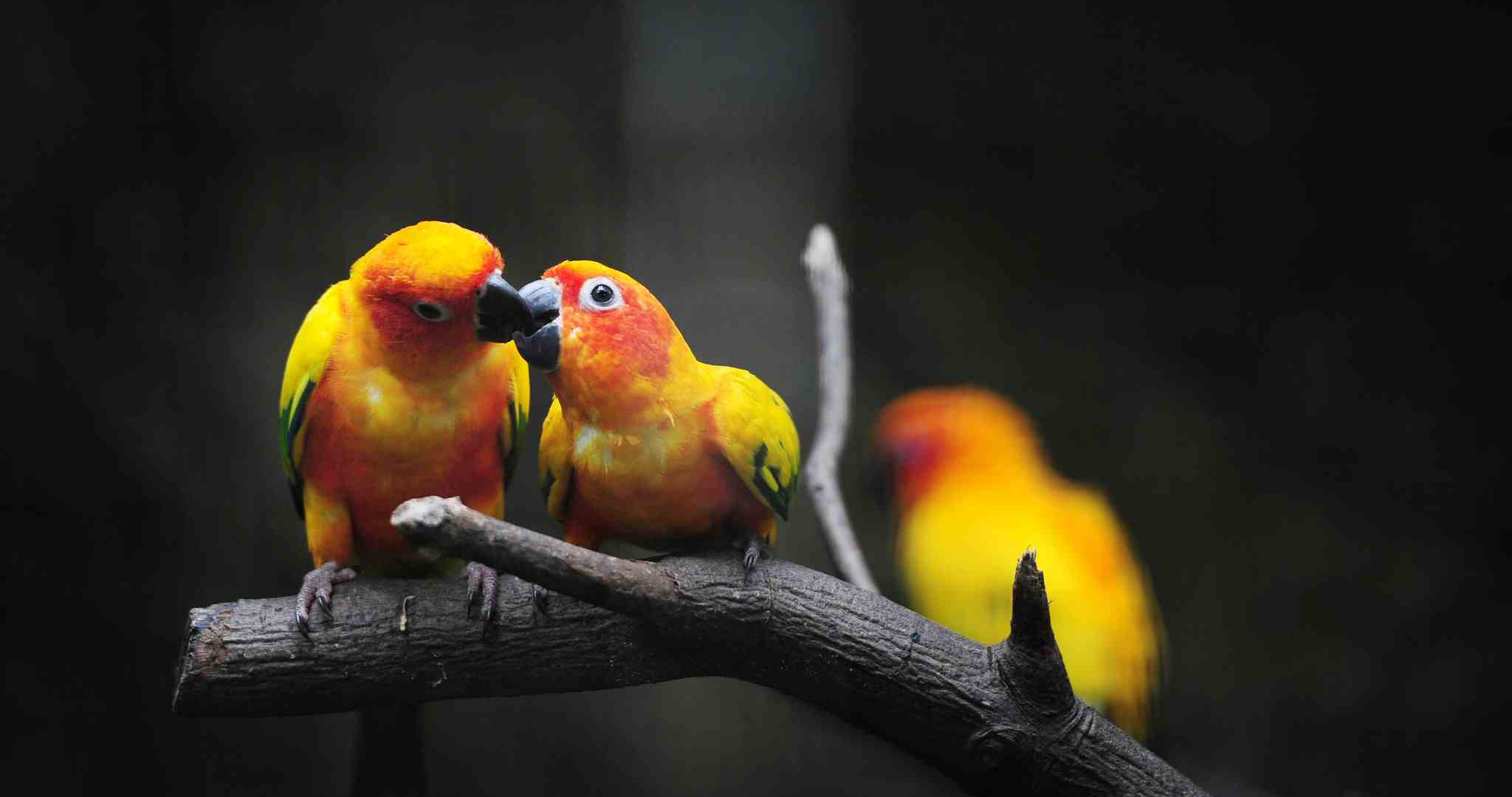 How to take proper care of your love birds header photo
